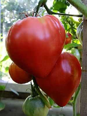Болгарские овощеводы могут быть лишены права выращивать некоторые известные в Болгарии сорта перца и помидор